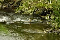 River Walker (sarniebill1) Tags: copyright bird birds yellow grey scotland perthshire feathers full tay greywagtail sarniebill2 sarniebill1 nigelwedge
