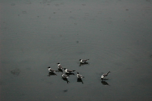 Birds at Chincoteague