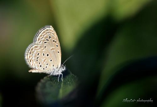Zizula hylax pygmaea (Pygmy Grass Blue)