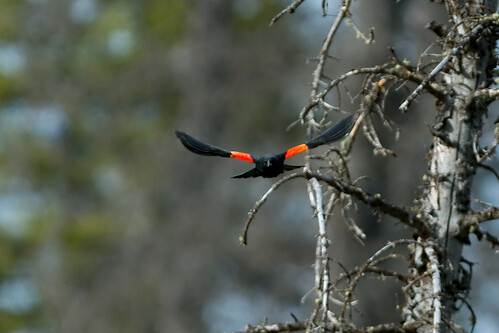 Red-winged blackbird - flight II