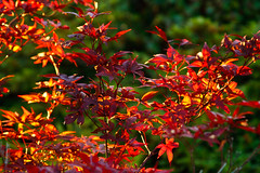 Red Leaves in Golden Hour (Ian Aberle) Tags: red plant leaves dallas texas unitedstatesofamerica magichour goldenhour ©ianaberle