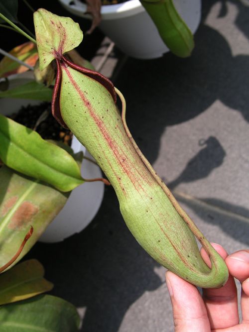 20100521UnknownNepenthes (3)