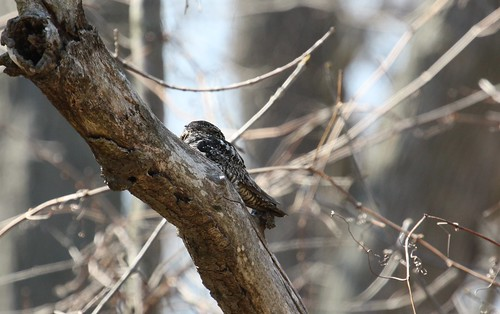 Whip-poor-will or common nighthawk? by ricmcarthur