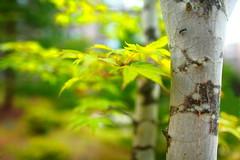 Nature's Beauty (Spice ♥ 浦辻リン) Tags: tree green nature leaves japan eos asia colours bokeh trunk 日本 5d 紅葉 木 karuizawa 自然 緑 whitebirch 軽井沢 葉 naganoken 白樺 キャノン