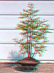 Anaglyph Dawn Redwood 5-12-11 (fredtruck) Tags: glasses 3d anaglyph bonsai hdr dawnredwood redcyan nikond90 bunjinstyle adobephotoshopcs5