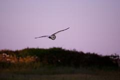 Barn Owl (JoshBakerPhotography) Tags: sunset plants sun macro face field barn evening fly flying wings nikon dusk hunting flight dorset owl setting swanage barnowl purbeck joshbaker d80 langtonmatravers