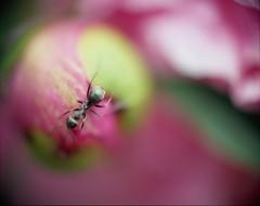 peony with ant (aubujazz) Tags: pink flowers macro green film floral pentax ant peony 6x7 ektar