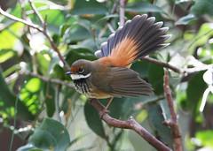 Rufous Fantail (Greg Miles) Tags: australia nsw newsouthwales rufousfantail rhipidurarufifrons murramarangnationalpark avianexcellence vosplusbellesphotos oakybeach