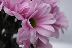 Pretty In Pink 56/365 (Vickyeastwood) Tags: flowers flower nikon bunch d90 nikond90 bunchofflowersvickyeastwood