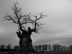Relict of olden days (RainerSchuetz) Tags: tree silhouette treesilhouette oak eiche reinhardswald hessian schattenriss silhouetten supershot mywinners treesubject baumsilhouetten beberbeck domnebeberbeck staatsdomnebeberbeck oaksilhouette