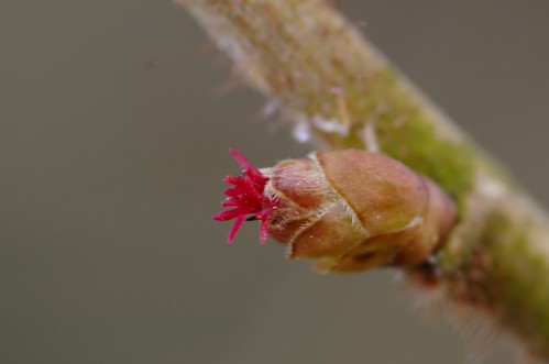 Coryllus avellana - Hazelaar. Vrouwelijk bloempje