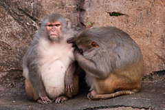 2009-02-06-14h03m53.IMG_3092l (A.J. Haverkamp) Tags: zoo rotterdam blijdorp dierentuin diergaardeblijdorp rhesusmacaque httpwwwdiergaardeblijdorpnl canonef300mmf4lisusmlens resusaap