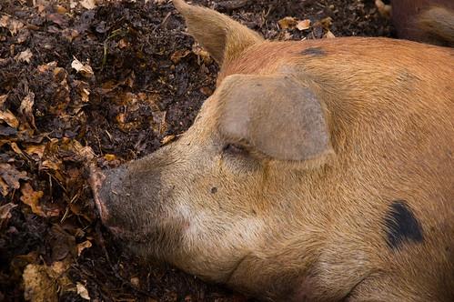 pig! (by bookgrl)