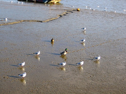 Duck among gulls.