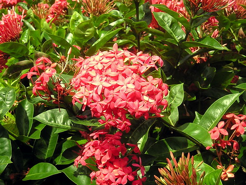 Ixora coccinea (Rubiaceae)