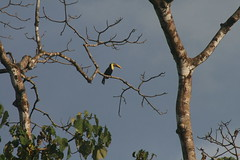 Toucan in the sun