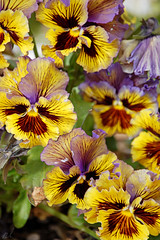 Curly burst of yellow. (Nick Leonard) Tags: flowers brown macro yellow garden colorful purple bright lasvegas vibrant nevada nick pansy flowerbed curly annual pansies inspiredbylove nickleonard