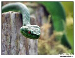 viper snake @ Kinasaraban, Kundasang (sam4605) Tags: nature animal reptile snake olympus malaysia e3 viper sabah kinabalu kundasang 70300 greensnake ranau zd pitviper sabahborneo kinasaraban sam4605