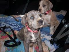Thelma and Louise (GreatPlainsMastiffRescue) Tags: rescue puppies englishmastiff mastiff greatdane foster louise dane volunteer adopt thelma thelmaandlouise greatplainsmastiffrescue gpmr