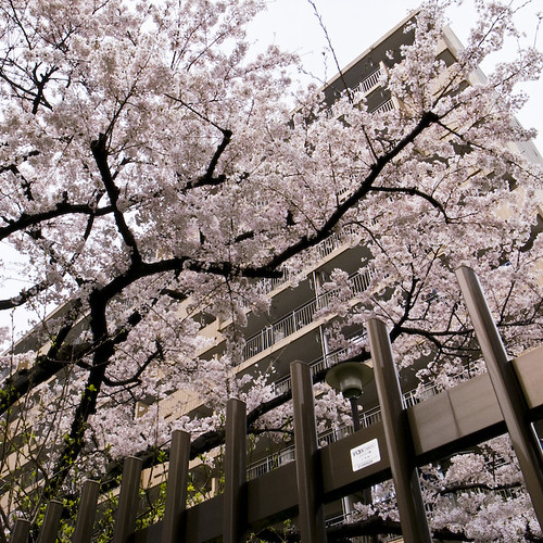 This in NOT a Park, Cherry Blossoms