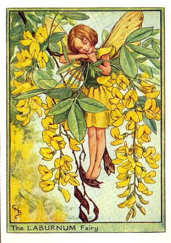 004-Laburnum_flower_fairy