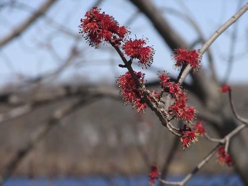 red maple farm pond