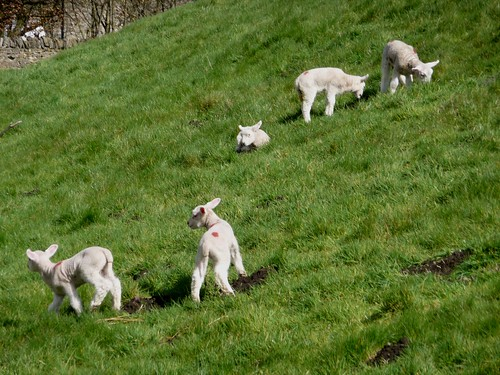 Lambs in the Town Ditch, Castleton