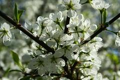 botaniczny_028 (adammirowski) Tags: white spring botanicalgarden kwiaty flovers lodz wiosna biae ogrdbotaniczny ld