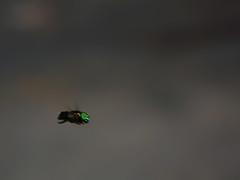 Mosca em pleno vo (kass) Tags: city brazil brasil bug sopaulo inseto mosca varejeira cityofsaopaulo kass