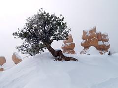 Lone tree Along Queens Garden trail (pjink11) Tags: winter snow utah olympus 2008 hikes hoodoos e500 sunrisepoint queensgarden brycecanyonnp zd1445mm kartpostal flickrestrellas