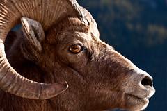Big Horn Sheep (Irena Portfolio) Tags: nature wildlife inspire bighornsheep outstandingshots bluemoonrising mywinners artandphotography excellentphotographer thatsclassy newacademy stealingshadows thebestgallery amazingnaturebeauty novavitanewlife musicsbest bestwildlifephotos riisligallery thegoldenpowerclub daarklands