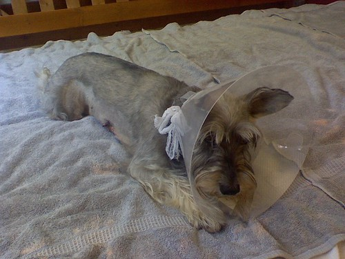 a very beat-up schnauzer