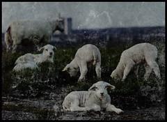 Missing The Sheep (Kirsten M Lentoft) Tags: denmark sheep textured albertslund abigfave worldbest theunforgettablepictures herstedhøje texturebyghostbones kirstenmlentoft