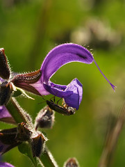 Salvia pratensis 2 (gripspix (OFF)) Tags: macro wildplant salviapratensis wildpflanze meadowclary wisensalbei
