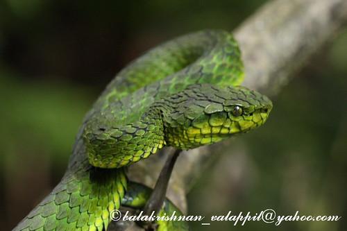 Large Scaled Green Pit Viper anamudi shola mannavanshola 2009 05 22 9 137