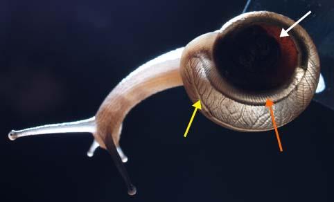 MesodonBacklit