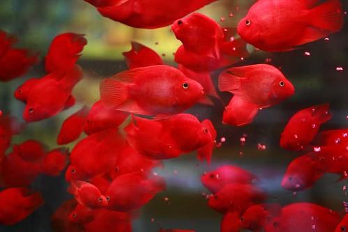 フリー画像| 動物写真| 魚類| 金魚| 赤色/レッド|       フリー素材|