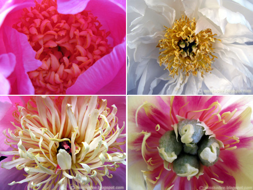 peonycollage