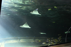 Sydney Aquarium: Stingrays (kyle.briscoe) Tags: fish animal aquarium stingray sydney australia sydneyaquarium
