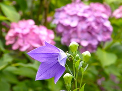 Balloon flower and hydrangea (hamapenguin) Tags: flower nature japan temple kamakura hydrangea  balloonflower      bej impressedbeauty