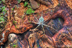 4.20 Tree trunk spider ... HDR ...
