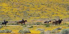 Follow the Leader (Maureen Bond) Tags: ca horses sunshine yellow spring path highdesert poppies wildflowers plain horseback sagebrush riders maureenbond