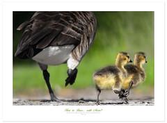 The race! (Imapix) Tags: bird nature animal race racing oiseau canadageese trainingcamp outardes bernaches gaetanbourque