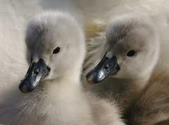 Flu and Ffy (paulinuk99999 (lback to photography at last!)) Tags: cute swan cygnet explore dorset abbotsbury swannery physis paulinuk99999 sal70300g agorathefineartgallery sonyphotochallenge