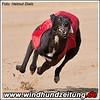 Greyhound Hündin aus Holland