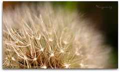 The Seeds Of Time (thingamijig) Tags: macro bokeh fluffy dandelion seeds seedhead 1001nights bokehlicious canon400d themagiceye heartawards betterthangood theperfectphotographer goldstaraward artphotographerssalon blinkagain