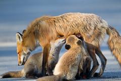 Renard roux / Red fox / Vulpes vulpes (RichardDumoulin) Tags: redfox vulpesvulpes renardroux