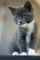Muffin // Our new kitten (Merlijn Hoek) Tags: netherlands amsterdam cat photography 50mm grey klein nikon kitten katten kat fotografie 14 nederland kittens d200 nikkor muffin poes noordholland grijs merlijn ukkie littlecat poesje smallcat nikond200 nikkor50mm14 bestofcats merlijnhoek kleinpoesje alittlebeauty kleinkatje heavenlycaptures boc0109