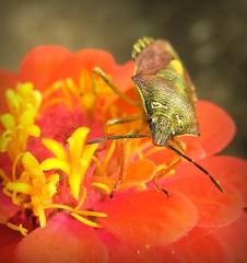 Shield bug (Sue323 :-)) Tags: summer orange flower macro eye nature canon bug suomi finland insect maria images sue kes kerimki luonto laakso shieldbug oranssi kukka hynteinen insectphotography canonpowershota710is marialaakso sue323 laaksoimages