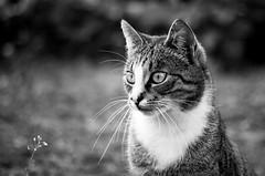 [フリー画像] 動物, 哺乳類, ネコ科, 猫・ネコ, モノクロ写真, 201005030900